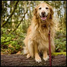 Molly the golden retriever loves to hit the trail especially when it leads to a great place for a swim.  What a great #adventuredog!