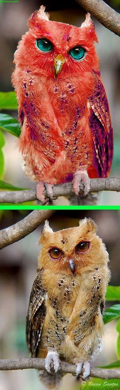 Fake - Photoshopped Red Owl. - The real image of a Philippine Scops Owl is on the bottom and was flipped. The real Red Owl is found mainly in Madagascar and Is considered Vulnerable and is shown here http://www.arkive.org/madagascar-red-owl/tyto-soumagnei/