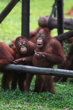 Since the year 2000 palm oil plantations around Kalimantan (Borneo) have expanded by nearly 300%, destroying vital forest patches where these orangutans should be living. Photo by: Rhett A. Butler.
