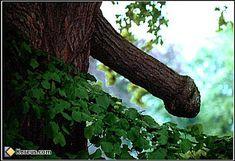 image insolite branche arbre en forme de pénis sexe
