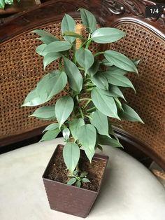 Big Indoor Plants, Indoor Garden, Home And Garden, Rare Plants, Photosynthesis, Flower Show, Green Grass, Houseplants, Shrubs