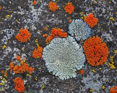 While it may appear to be a problem, lichen won't harm your tree.  Consider it a welcome addition to your landscape with its fun texture and bright colors.