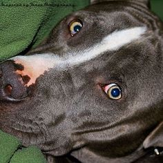 Our boy Drexel (blue nose pit bull as loving as can be)