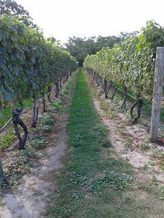 Vineyard shot @trurovineyards @The Blushing Oyster B & B