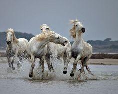 Wild White Horses of The Carmargue,