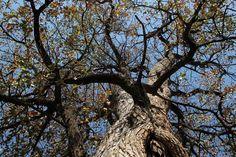 Mopane Tree 2014 09 02