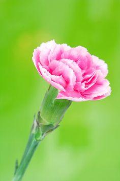 Gambar Bunga Anyelir Pink | Gambar Gratis