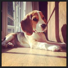 Just chilling in the sun like a good beagle pup #beagle #puppy