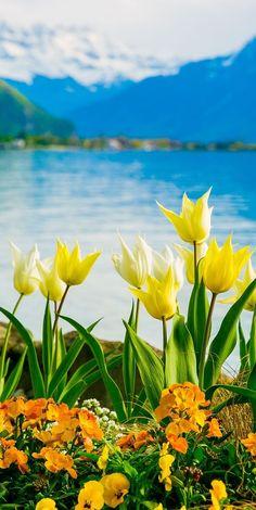 Yellow, White Flowers on Lake Geneva, with Swiss Alps, Montreux, Switzerland (Europe travel, vacation)