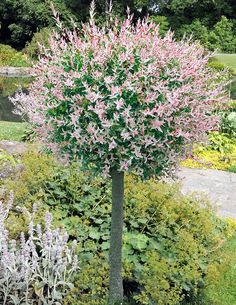 Dappled Willow Tree A stunning variegated willow tree! One of the most striking ornamental trees! Pretty pink shoots are show-stoppers. Variegated leaves are creamy white and green. Plant in sun or partial shade. We send 2 - wh Garden Shrubs, Garden Trees, Lawn And Garden, Patio Trees, Landscaping Trees, Front Yard Landscaping, Landscaping Design, Trees And Shrubs, Trees To Plant