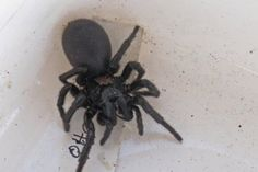 Wild and wonderful discoveries in the Tasmanian bush - Tasmanian funnel-web spider which has not been seen since the 1920s.