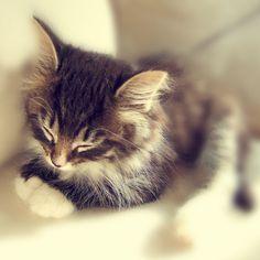 Little Kitten Sleeping  Kitty  Norwegian Forest by katrinehammer,