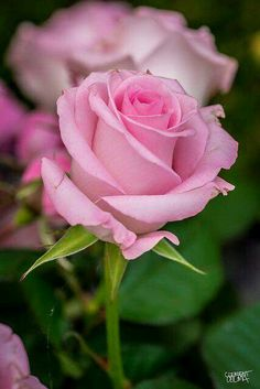"""Pink Roses mean, """"goin' to the Chapel and we're gonna get married""""..."""