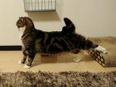 Maru the cat in Japan stretching