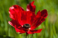 poppy flowers by BawarMohammadSidiq on YouPic Poppy Flowers, Award Winner, Poppies, Nature, Plants, Poppy, Flora, Nature Illustration, Off Grid