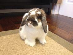 Cute as a bunny. Mini Lop, Hunny Bunny, Cute Bunny, Happy Animals, Animals And Pets, Holland Lop Bunnies, Cute Small Animals, Dwarf Bunnies, Jack Rabbit