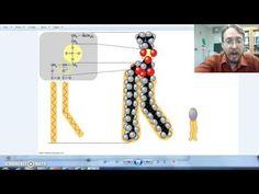 Lipids part 3: Glycerides - YouTube