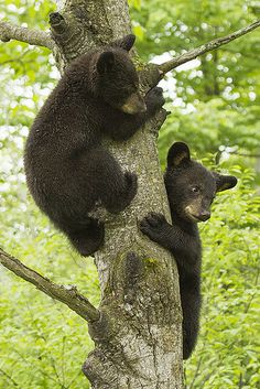 Twin Bear Cubs Up a Tree