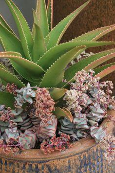 Aloe x delaetii with Crassula perfoliata IMG_0706