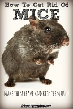 Considering the toxicity of most rodent-control method, it's good to know how to get rid of mice nat Mice Repellent, Insect Repellent, Flea Repellant, Getting Rid Of Rats, Best Pest Control, Bees And Wasps, Mouse Traps, Mice Control, Bug Control