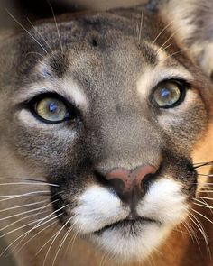 Mountain Lion - he looks like he's had his make up done by Wade Bandy, most beautiful eyes.