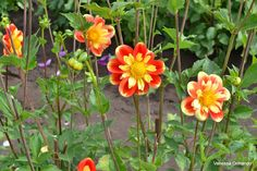 This flower is so pretty!!!  From: The Passionate Homemaker: Swan Island Dahlia Festival, Canby