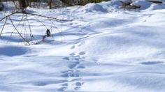 盛岡市内 雪に残る動物の足跡