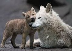 Image result for Caring wolf and cubs