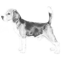 Beagle breed standard illustration.