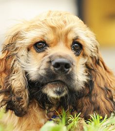 "See our internet site for even more details on ""cocker spaniel dog"". It is actually a superb spot to read more. American Cocker Spaniel, Cocker Spaniel Puppies, Cute Puppies, Cute Dogs, Dogs And Puppies, Beautiful Dog Breeds, Beautiful Dogs, Wild Dogs, Baby Dogs"