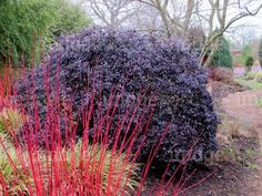 Pittosporum tenuifolium Tom Thumb Rich Purple Foliage Specimen in Border in Winter