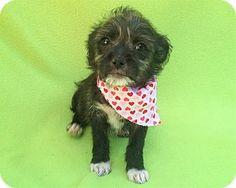 Burbank, CA - Chihuahua/Maltese Mix. Meet Hana, a puppy for adoption.…