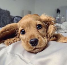 Cute Dogs And Puppies, Baby Dogs, I Love Dogs, Pet Dogs, Doggies, Cute Baby Animals, Animals And Pets, Funny Animals, Perro Cocker Spaniel