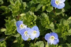 Persian Speedwell is a common weed found in Tennessee. It is used occasionally in gardens as ground cover, but most refer to it as a weed. Lilac Flowers, Lawn Care Tips, Yellow Flowers, Persica, Wild Edibles, Plants, Garden Chores, Urban Garden, Planting Flowers
