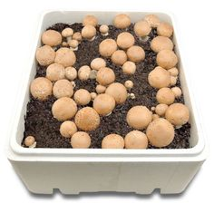 Champi-Pousse - Kits de culture de champignons BIO - Champignons de Paris Blonds Culture Champignon, Mushroom Culture, Grow Your Own Food, Green Garden, Science For Kids, Permaculture, Fungi, Garden Inspiration, Dog Food Recipes