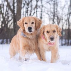 """Golden Retriever Pups ~ Classic """"Siblings So Happy Together"""" Look"""