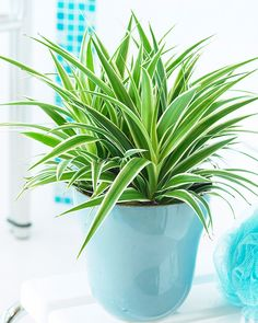 Spider Plant (Chlorophytum Comosum) aids in absorbing toxins in the air including formaldehyde, styrene, carbon monoxide, and benzene.