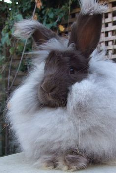 Angora rabbit - needs brushing twice a week, for an hour each time