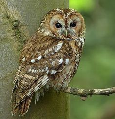 """Tawny Owl of the UK The Tawny Owl (strix aluco) is a stocky, medium-sized owl and a familiar bird in the UK with the exception of the Barn Owl. It is absent from both Northern and the Republic of Ireland. This owl is also known as the """"hill hooter"""", the """"screech owl"""", the """"wood owl"""" and the Eurasian Tawny Owl."""