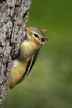 Chipmunk On Tree Print by Christina Rollo.  All prints are professionally printed, packaged, and shipped within 3 - 4 business days. Choose from multiple sizes and hundreds of frame and mat options.