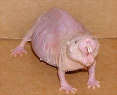 Native to parts of East Africa, naked mole-rats look more intimidating than they actually are. It is a burrowing rodent that spends plenty of time underground in tunnels. Naked mole-rats have also been never seen to grow tumors or have cancer.