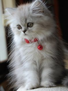 beautiful angora...