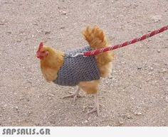 Homemade Large Chicken/Fowl Harness for walking on a leash. in Pet Sup… Homemade Large Chicken/Fowl Harness for walking on a leash. in Pet Supplies, Bird Supplies, Other Bird Supplies Cute Chickens, Keeping Chickens, Chickens And Roosters, Raising Chickens, Bantam Chickens, Urban Chickens, Backyard Chicken Coops, Diy Chicken Coop, Chickens Backyard