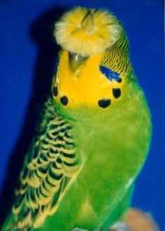 Crested Budgie~ I have NEVER seen this before!