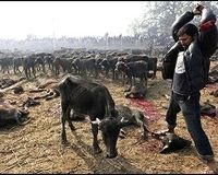 Stop the World's Largest Animal Sacrifice in Nepal author: Animal Advocates target: Nepal Right Honorable President Dr. Ram Baran Yadav signatures: 2,790