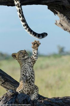 ~~Grab It | leopard cub really having fun with her mum's tail by Lets Kamogelo~~