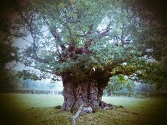 Anchient oak
