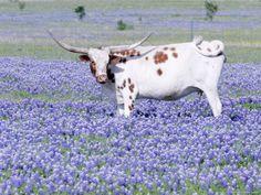 Longhorn Grazing on Bluebonnets, Midlothian, Texas