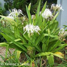Shop by Color - Whites - Crinum Lily: C. Asiaticum: Giant White Spider Lily, 2 year-old plant Florida Plants Landscaping, Florida Gardening, Landscaping With Rocks, Backyard Landscaping, Tropical Garden, Tropical Plants, Planting Bulbs, Planting Flowers, Garden Plants