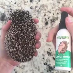Coconut Quills - Our Coconut Quills spray is great for hedgies with dry skin. This dual-purpose spray uses moisturiz - Hedgehogs Pet Care, Hedgehog Care, Hedgehog House, Cute Hedgehog, Hedgehog Facts, Baby Hedgehogs, Hedgehog Supplies, Hedgehog Accessories, Cute Little Animals